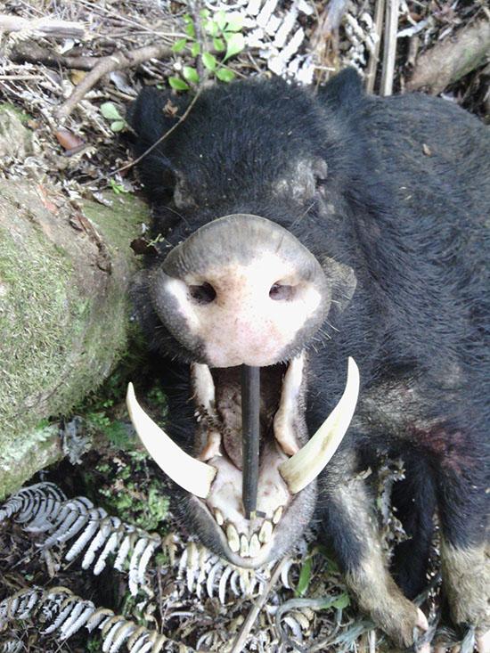 Schroeder Tusks